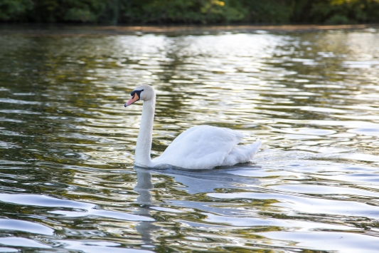 Swan on the Thames